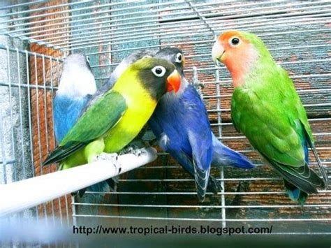gabbie per pappagalli inseparabili agapornis agapornisitalia il sito dei pappagallini