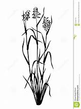 Oats Plant Roots Clipart Silhouette Sprouts Oat Illustration Clipartmag Royalty sketch template