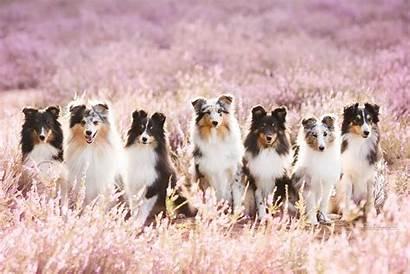 Dog Kindergarten Sheepdog Shetland Wall 36x Fresco