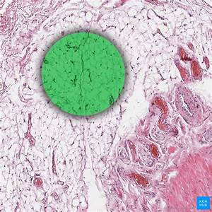 Adipose Tissue  Definition  Location  Function