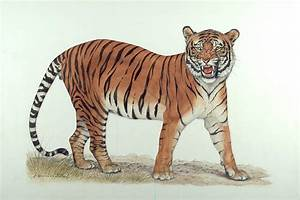 Chinese Tiger Drawing