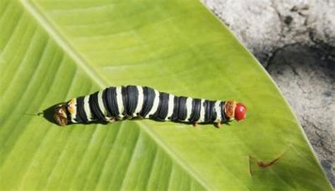 butterflies    cocoons animals momme