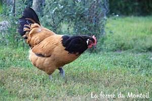 Poule Pondeuse Race : la poule vorwerk une pondeuse et une couveuse exemplaire ~ Dallasstarsshop.com Idées de Décoration