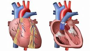 Heart And Circulation  Outside And Inside