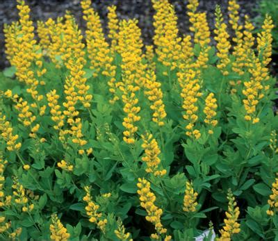 yellow perennial flowers for sun klehm s song sparrow farm and nursery sun perennials baptisia s screamin yellow