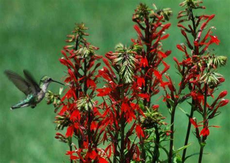 lobelia cardinalis cardinal flower seeds plants