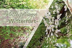 Rankpflanzen Winterhart Immergrün : winterharte kletterpflanzen diese 10 bl hen mehrj hrig ~ A.2002-acura-tl-radio.info Haus und Dekorationen