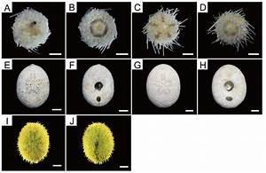 Echinodermata  Echinoidea  A