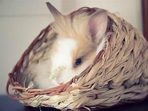 Maison Pour Lapin : les lapins nains inspirations desjardins ~ Premium-room.com Idées de Décoration
