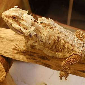 bearded dragon shedding tortoise for sale baby With how often do bearded dragons go to the bathroom