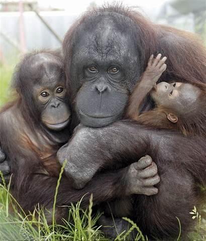 Monkey Orangutan Dorset Ning Animals Animal Around