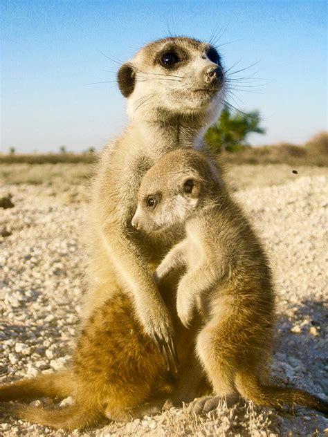 stressed meerkats arent  helpful futurity