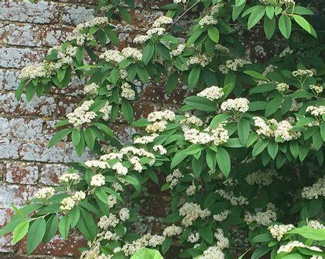 plant pots for sale gardensonline cotoneaster lacteus