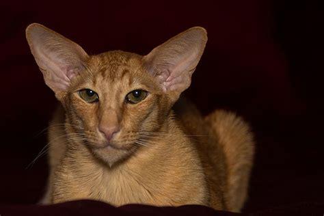 Oriental Shorthair Cat  Fantastic Pet Encyclopedia, Uk