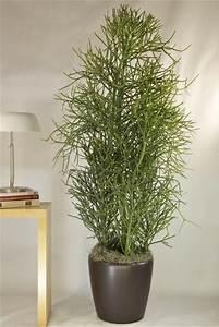 Indoor plants- Pencil Cactus. | 盆栽 plants | Pinterest