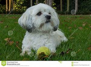 White Maltese Dog / Shih Tzu With Tennis Ball Stock Photo ...