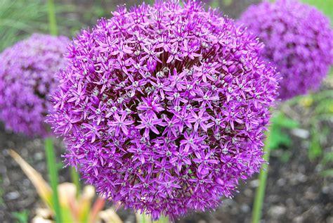 what are alliums allium giganteum wikipedia