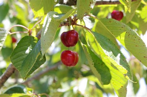 cuisine hardy list of cold hardy fruit and nut trees cold climate