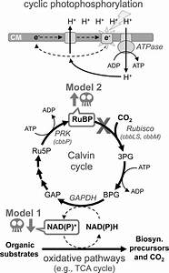 Calvin Cycle Mutants Of Photoheterotrophic Purple Nonsulfur Bacteria Fail To Grow Due To An
