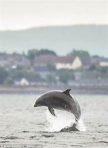 Dolphin in Moray Firth devours fish caught by wildlife ...