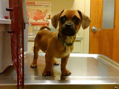 daug dachshund pug mix info temperament puppies pictures
