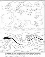 Albatross Lineart sketch template