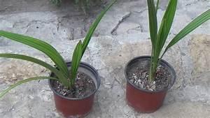 Aprikosenbaum Selber Ziehen : dattelb r dattelpalmen pflanzen youtube ~ A.2002-acura-tl-radio.info Haus und Dekorationen