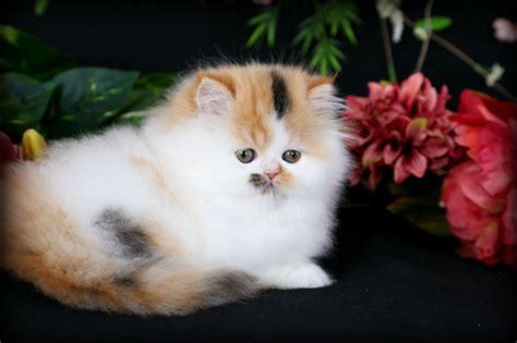 Persian Kitten For Sale  8 Cool Teacup Persian Cat Price