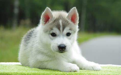 Black white puppies dog wallpaper hd. Baby Huskies Wallpaper (79+ images)