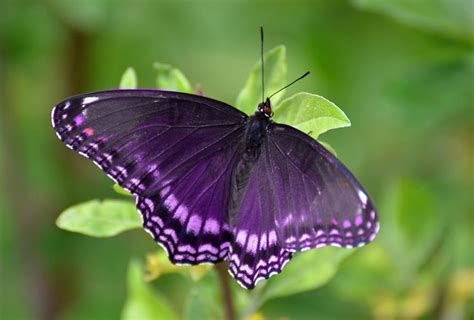 purple butterfly meaning  symbolism