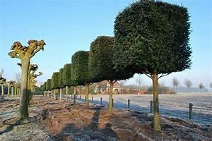 Johannisbeeren Hochstamm Kaufen : taxus baccata eibe kaufen formschnitt taxuspyramide ~ Lizthompson.info Haus und Dekorationen
