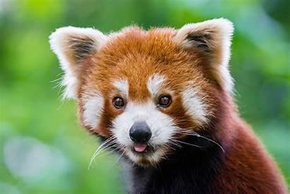 Panda Animal 4k Muzzle Tier Tiere Desktop