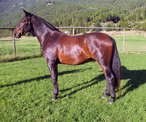 2006 foals bay andalusian gelding vmf silvestre cancion andalusians lo