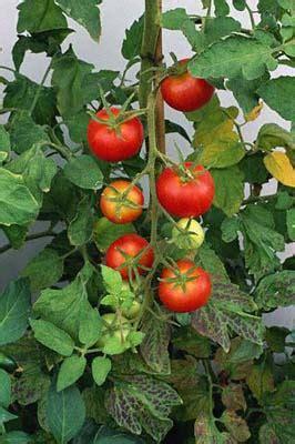 orto  balcone la pianta del pomodoro efiori
