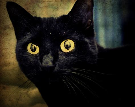 black cat superstition halloween superstition why black cats are considered bad luck divine lifestyle