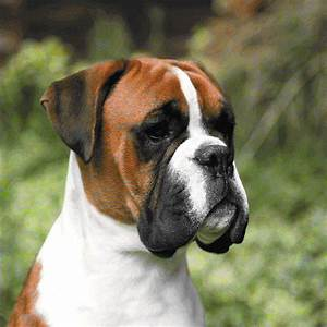 25+ best ideas about Boxer Dog Breed on Pinterest | Boxer ...