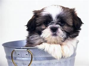 17 Best images about Shiz-Shuz love on Pinterest | Puppys ...