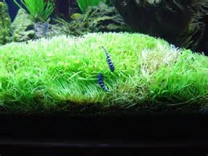 Anubias Carpet aquatic plant central lilaeopsis brasiliensis