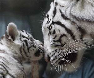 White Bengal tiger triplets: Born in ZOO Liberec in Czech ...