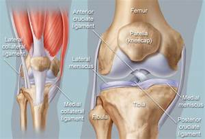Knee  Human Anatomy   Function  Parts  Conditions  Treatments