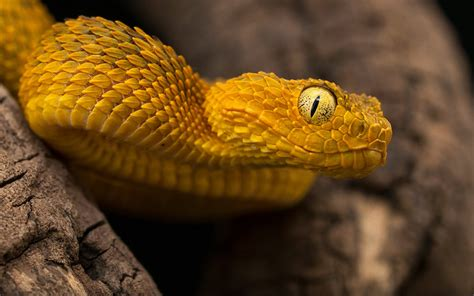 reptile atheris squamigera bush viper poisonous species