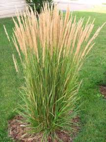ornamental grasses calamagrostis and miscanthus environmentallandscapes