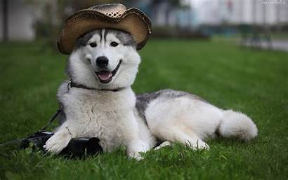 Husky Siberian Dog Wallpapers Photographer Puppy Dogs