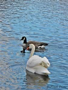 Canada Geese Duck Swan