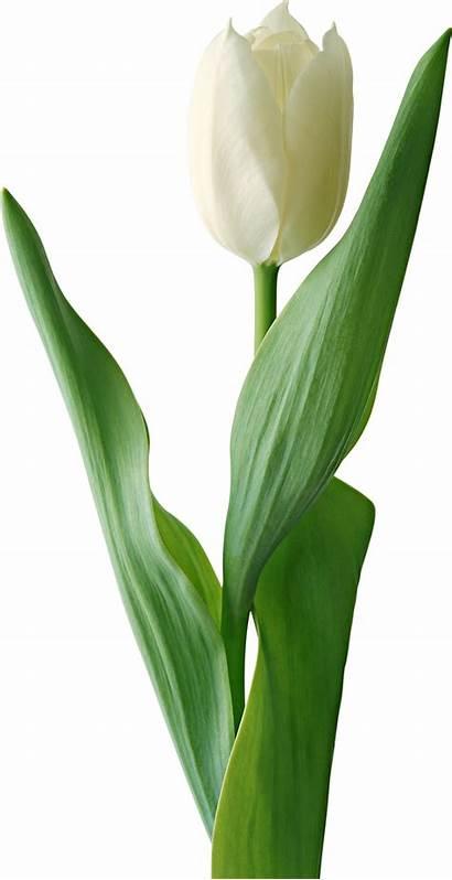Tulip Flowers Pngimg Yellow 2070