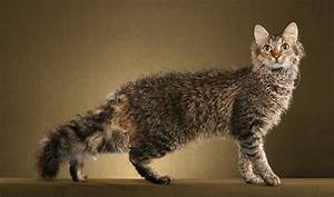 Cats La : laperm cat purrfect cat breeds ~ Orissabook.com Haus und Dekorationen