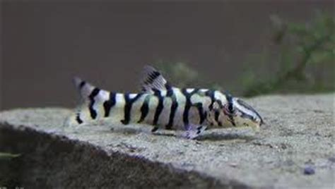 profiles tropical loaches tropical fish site