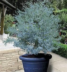 Eucalyptus Plante D Intérieur : eucalyptus gunnii france bleu rengun plante en ligne jardinage pinterest ~ Melissatoandfro.com Idées de Décoration