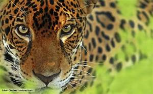 Some Facts about Jaguar Wild Animal ~ ironpanther