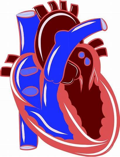 Clipart Heart Realistic Transparent Actual Colorful